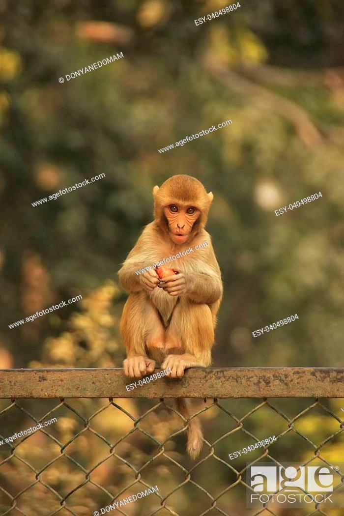Stock Photo: Young Rhesus Macaque sitting on a fence, New Delhi, India.