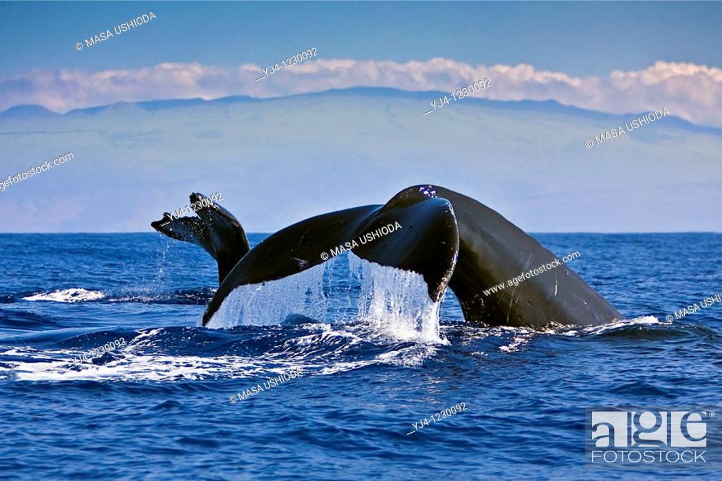 Stock Photo: humpback whales, Megaptera novaeangliae, fluke-up dive, Kohala Mountain in background, Hawaii, USA, Pacific Ocean.