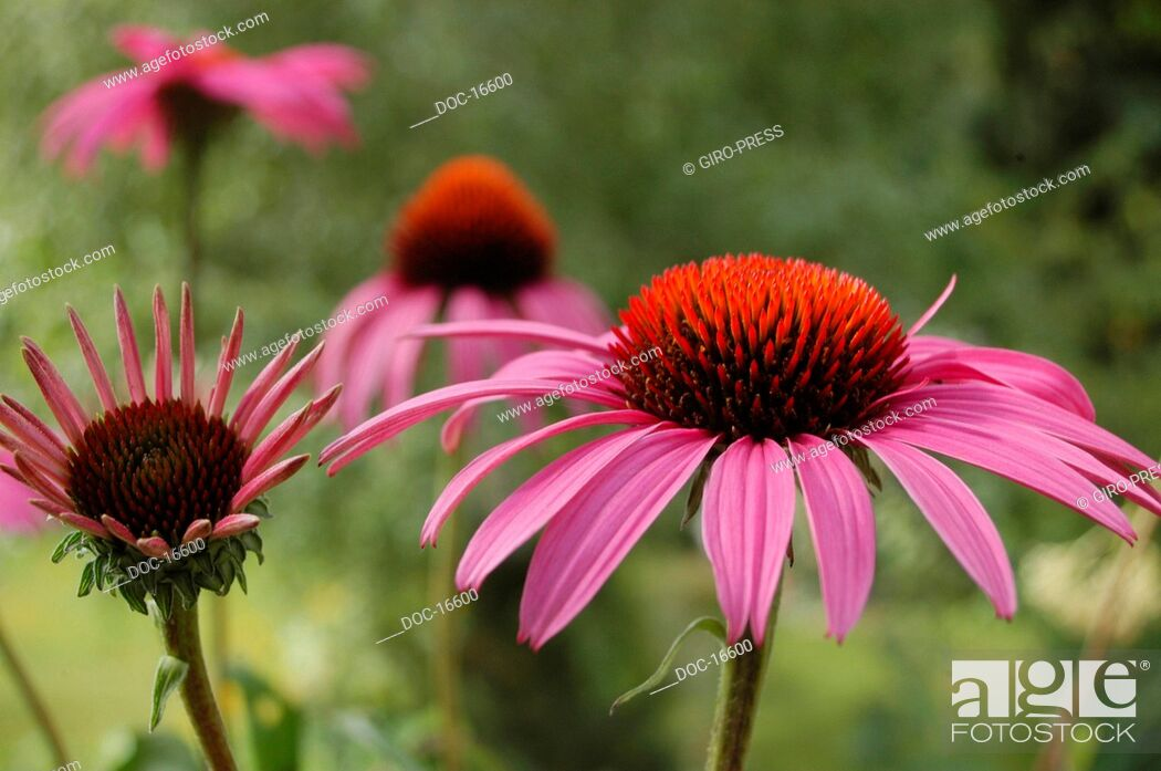 Imagen: Echinacea blossoms on a meadow.