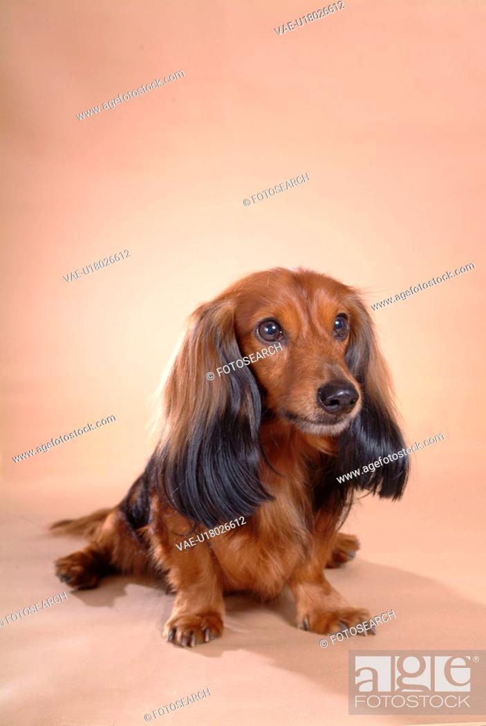 Stock Photo: looking forward, animal, domestic animal, dachshund, dog, close up, pet.