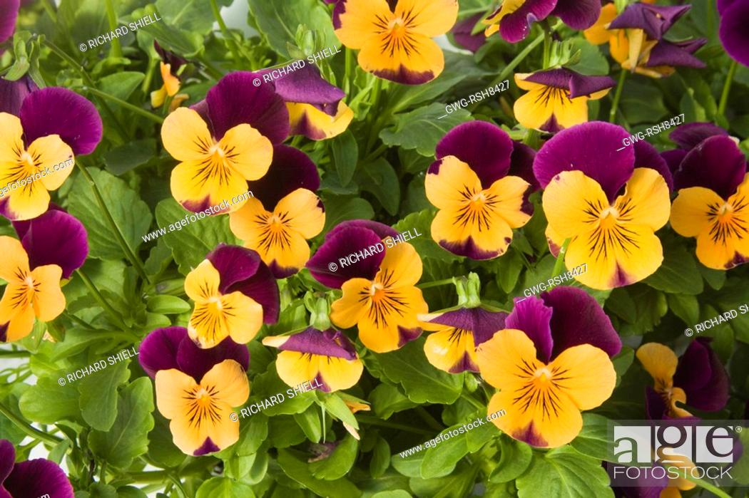 Plants, Seeds & Bulbs Shop For Cheap Rare Flower Seeds Viola Horned Pansy Violet Helen Viola Cornuta High Quality Materials