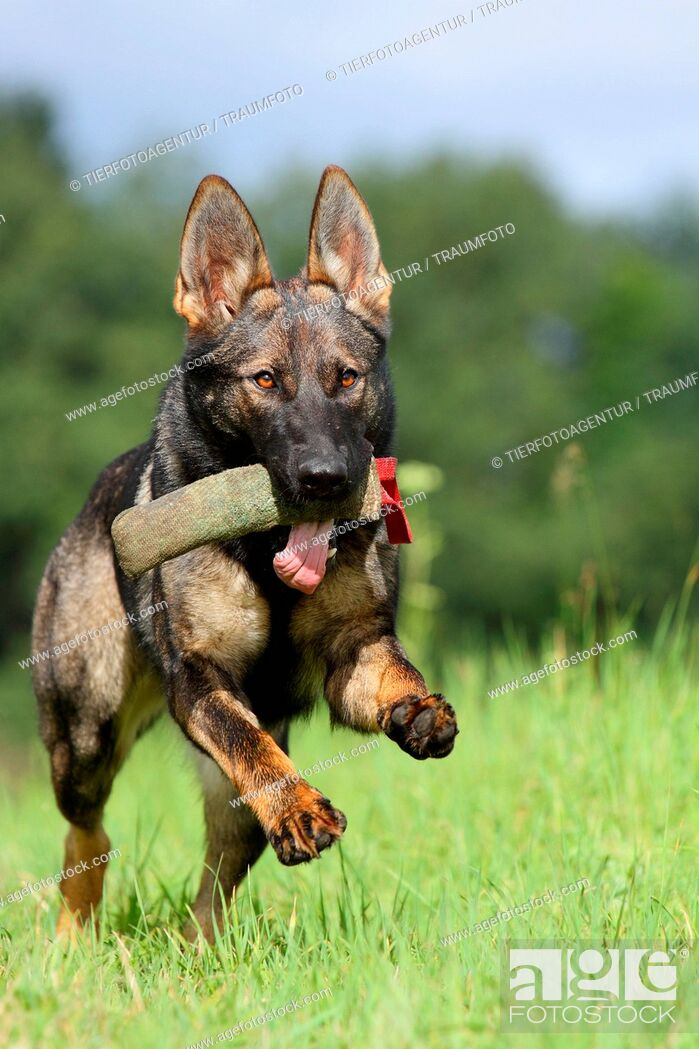 Imagen: playing east German Shepherd.