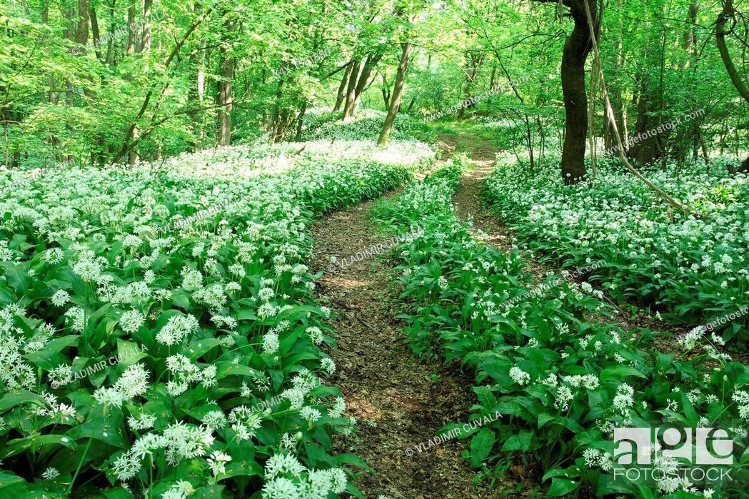 Stock Photo: Wild garlic Allium ursinum flowering in the woodlands of Male Karpaty, Slovakia.