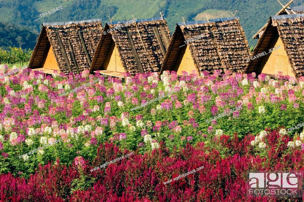 Stock Photo: Small accomodation huts and fieald of flowers up in the mountains in the Mae Hong Son region.