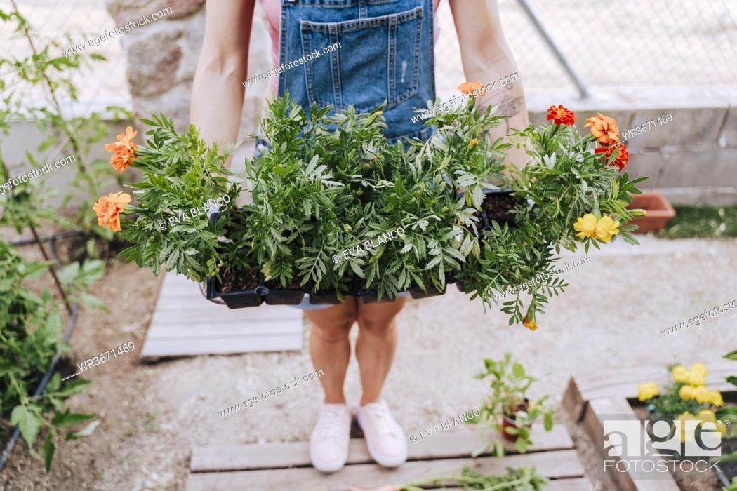 Stock Photo: Mid adult woman holding plants while standing in vegetable garden.