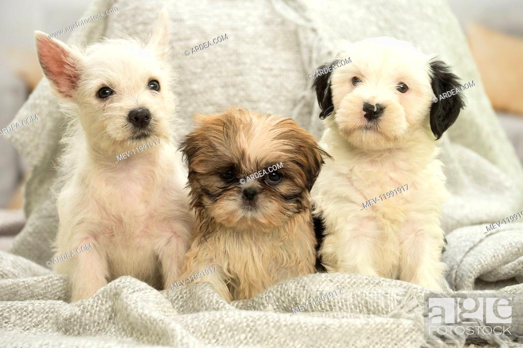 Stock Photo: West Highland White Terrier, Shih-Tzu and Tibetan Terrier puppies West Highland White Terrier, Shih-Tzu and Tibetan Terrier puppies.