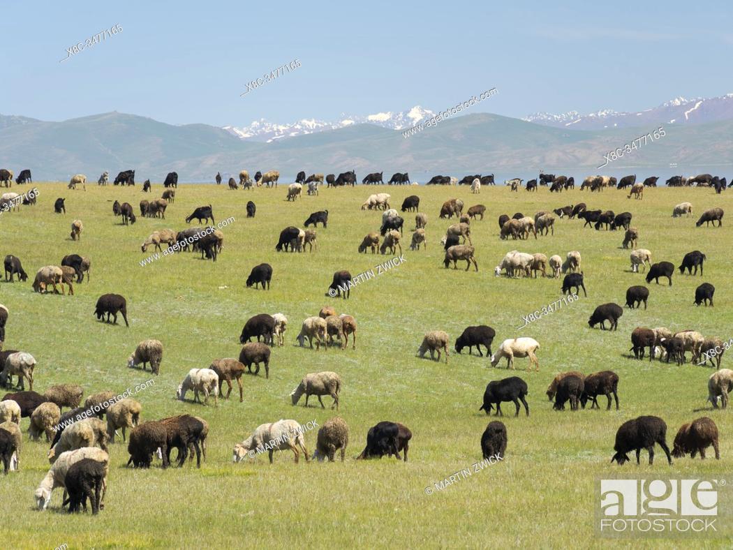 Stock Photo: Sheep on their mountain pasture at lake Song Kol (Son Kul, Songkoel, Song-Koel). Tien Shan mountains or heavenly mountains in Kirghizia.