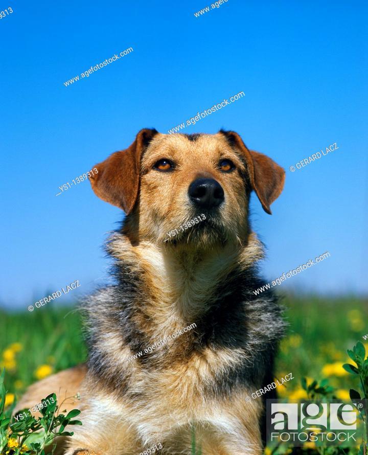 Stock Photo: Domestic Dog, Portrait of Adult.