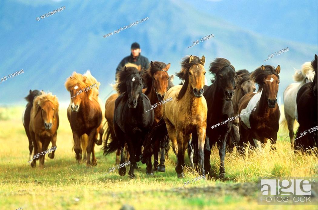Stock Photo: Icelandic horses - herd on meadow.