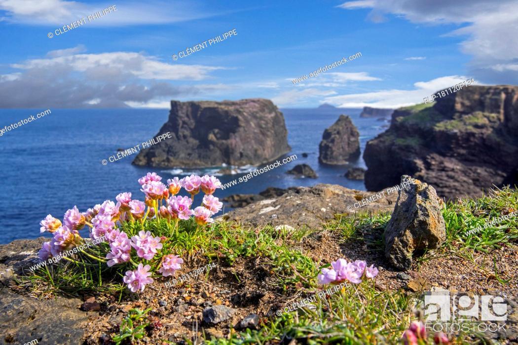 Stock Photo: Sea pink / sea thrift (Armeria maritima) in flower in spring on cliff top at Eshaness / Esha Ness, Northmavine, Mainland, Shetland Islands, Scotland.