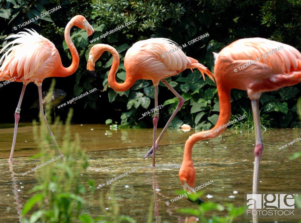 Stock Photo: Flamingos. National Zoo.