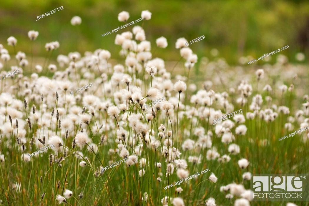 Stock Photo: tussock cotton-grass, hare's-tail cottongrass Eriophorum vaginatum, blooming and with fruits, Germany, North Rhine-Westphalia.