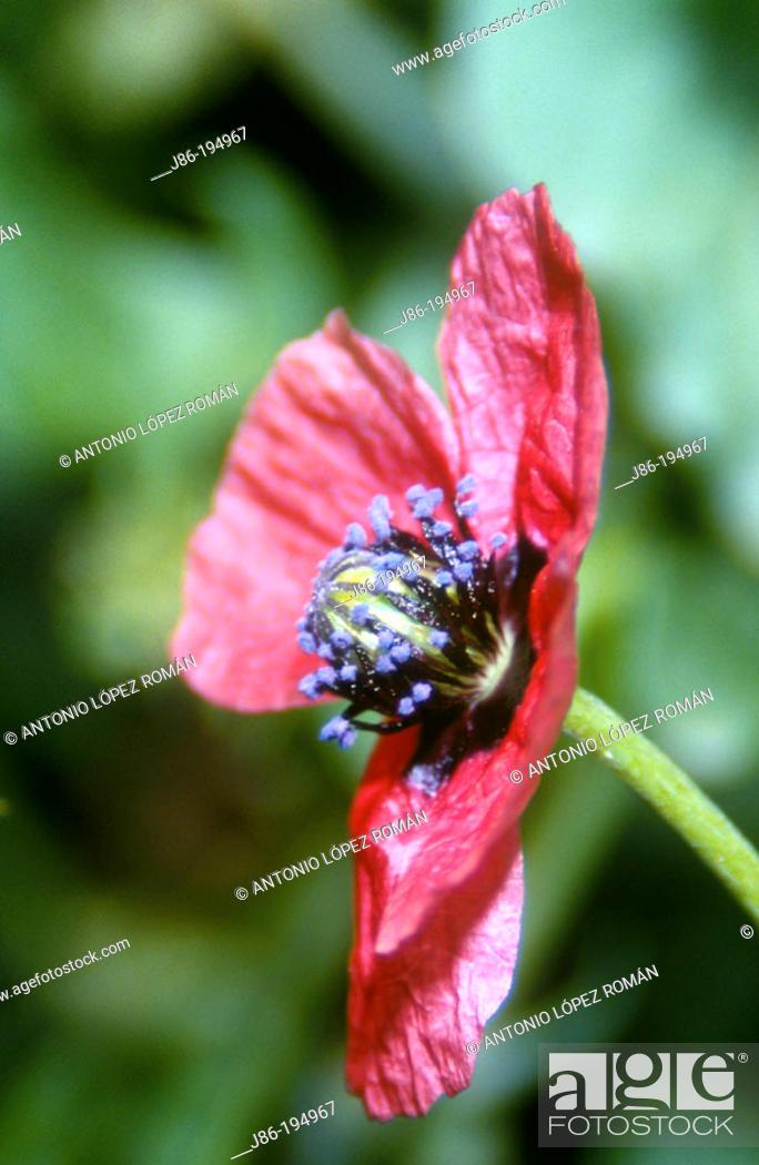 Stock Photo: Poppy (Papaver argemone).
