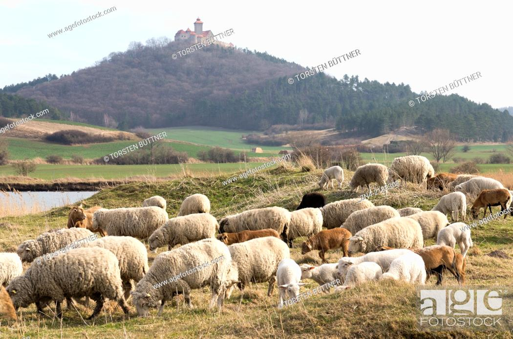 Stock Photo: A Herd of Sheep in Front of Wachsenburg Castle. Thuringia. Germany.