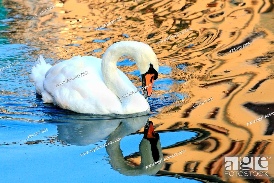 Stock Photo: Swan swimming in Naviglio - Milan Italy.