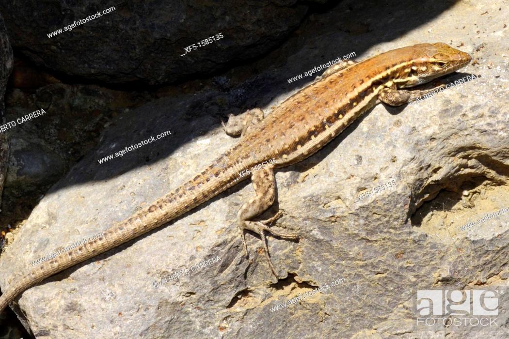Lizard lic