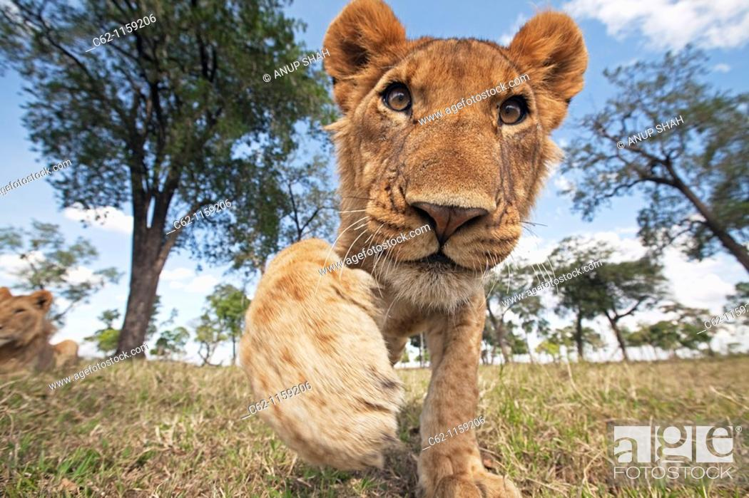 Stock Photo: Lion (Panthera leo) adolescent reaching out with curiosity -wide angle perspective-, Maasai Mara National Reserve, Kenya.