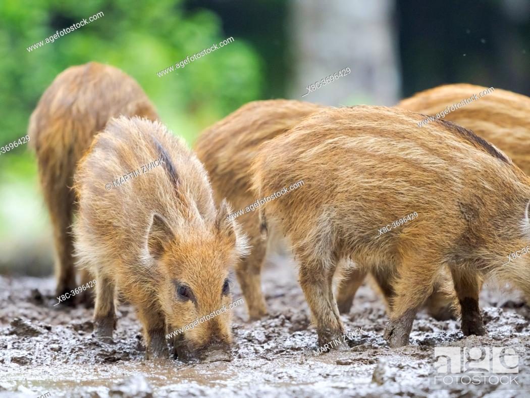 Stock Photo: Young boar, piglet. Wild Boar (Sus scrofa) in Forest. National Park Bavarian Forest, enclosure. Europe, Germany, Bavaria.