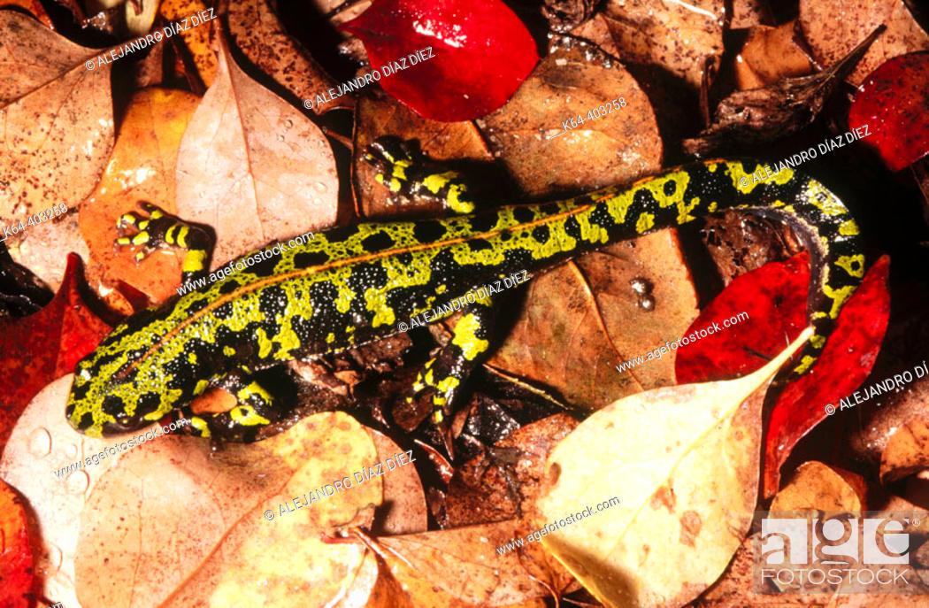 Stock Photo: Marbled Newt (Triturus marmoratus).