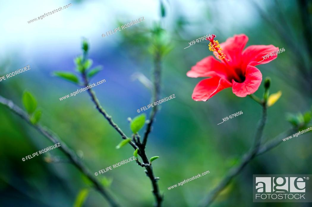 Stock Photo: Red hibiscus, Seville, Spain.