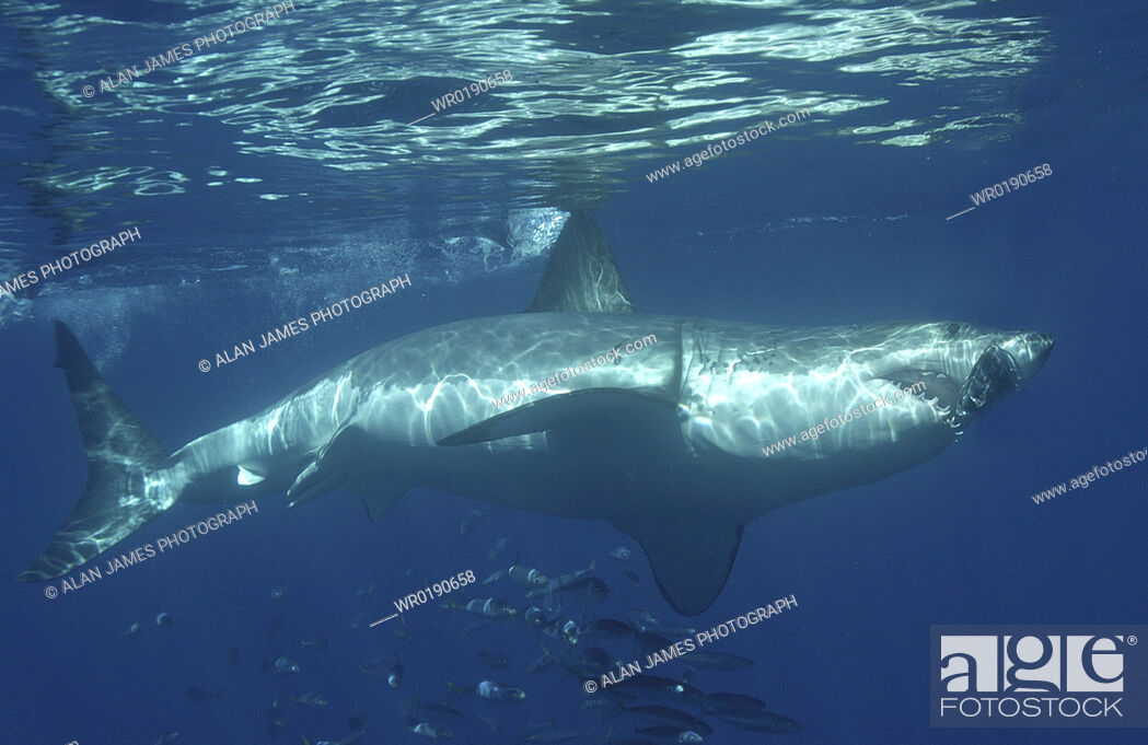 Stock Photo: Great White Shark Carcharodon Carcharias swimming with shoal of fish Isla Guadalupe, Mexico A4 only.