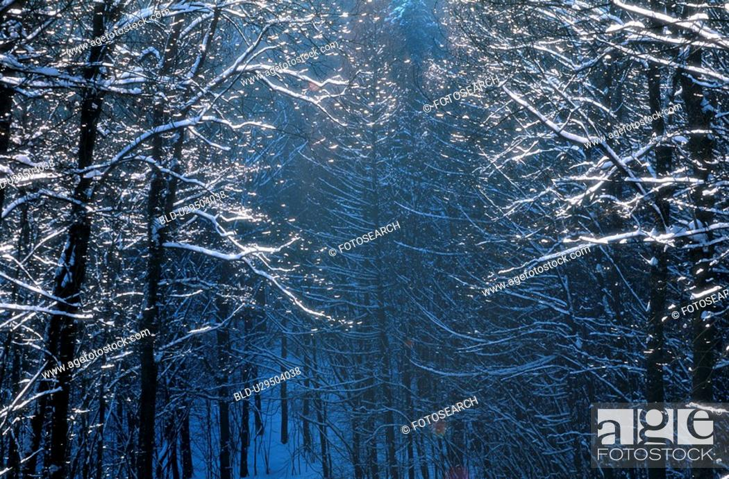 Stock Photo: frost, branch, forest, cold, calf, glitter, austria.