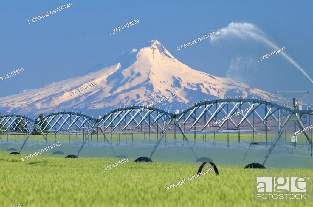 Stock Photo: Wheatfield in Agency Plains to Mt Hood, Jefferson County, Oregon.