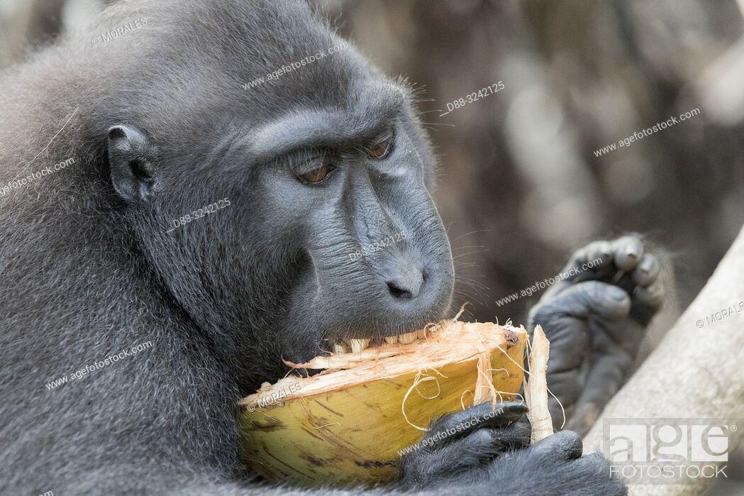 Stock Photo: Asia, Indonesia, Celebes, Sulawesi, Tangkoko National Park, . Celebes crested macaque or crested black macaque, Sulawesi crested macaque.
