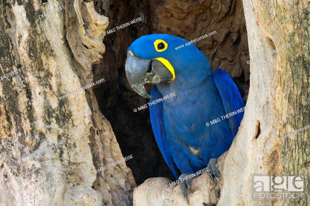 Stock Photo: Hyacinth Macaw (Anodorhynchus hyacinthinus) in its tree nest, Pantanal, Mato Grosso, Brazil.