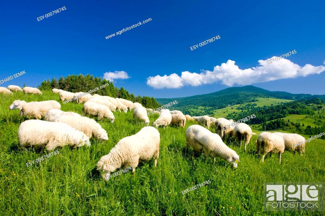 Stock Photo: sheep herd, Mala Fatra, Slovakia.