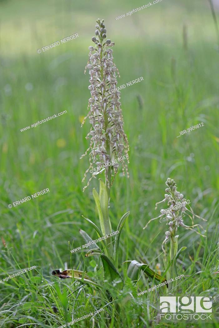 Stock Photo: Lizard Orchid (Himantoglossum hircinum), Baden-Württemberg, Germany.