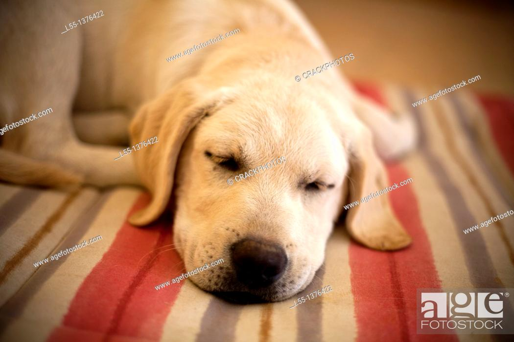 Stock Photo: Labrador retriever.