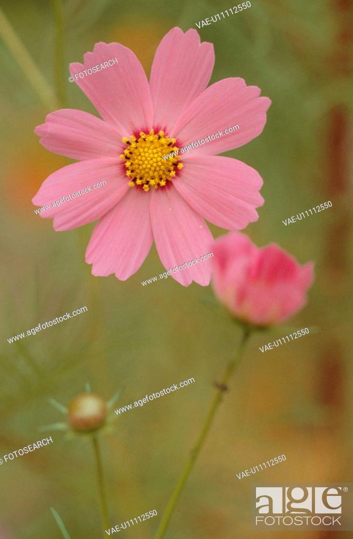 Stock Photo: Pink Flower.