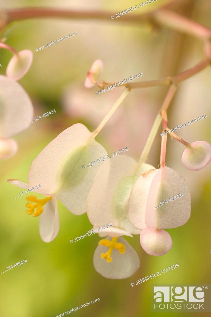 Stock Photo: Pond Lily Begonia. Begonia x erythrophylla 'Helix'. Begoniaceae, Hybrid origin.