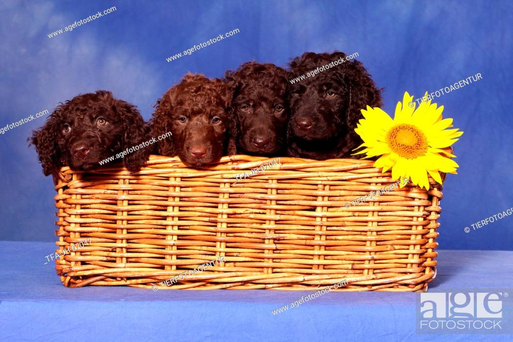 Stock Photo: irish water spaniel puppies.