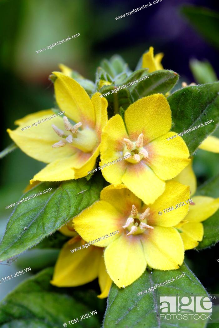 Stock Photo: Yellow Loosestrife Lysimachia punctata flowers close up.