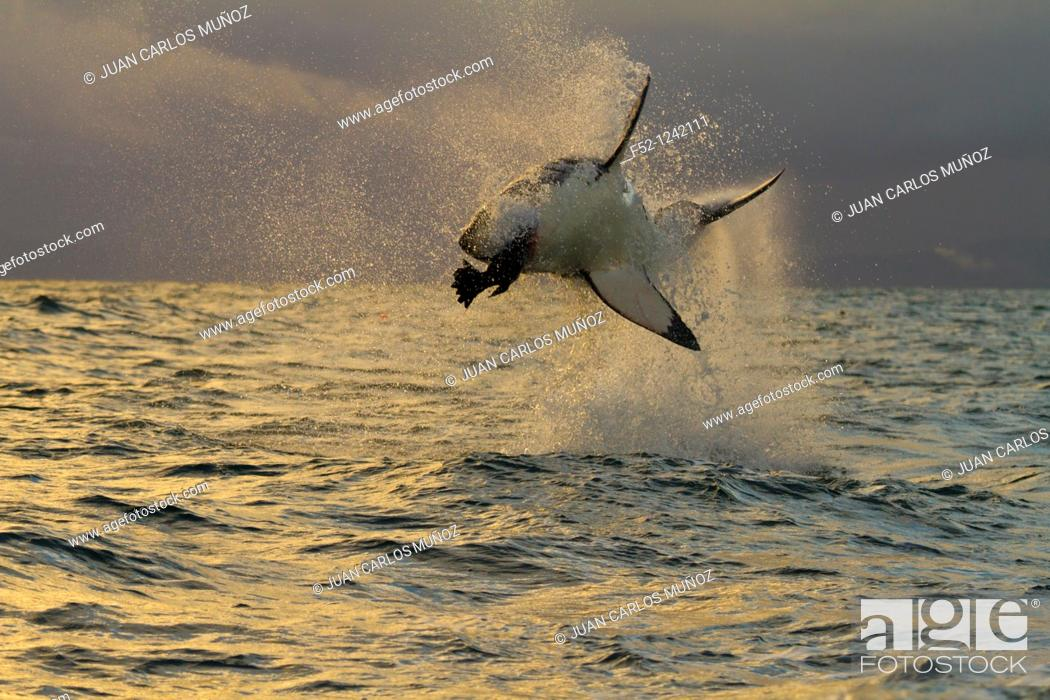 Imagen: Great White Shark (Carcharodon carcharias), Seal Island, False Bay, South Africa.
