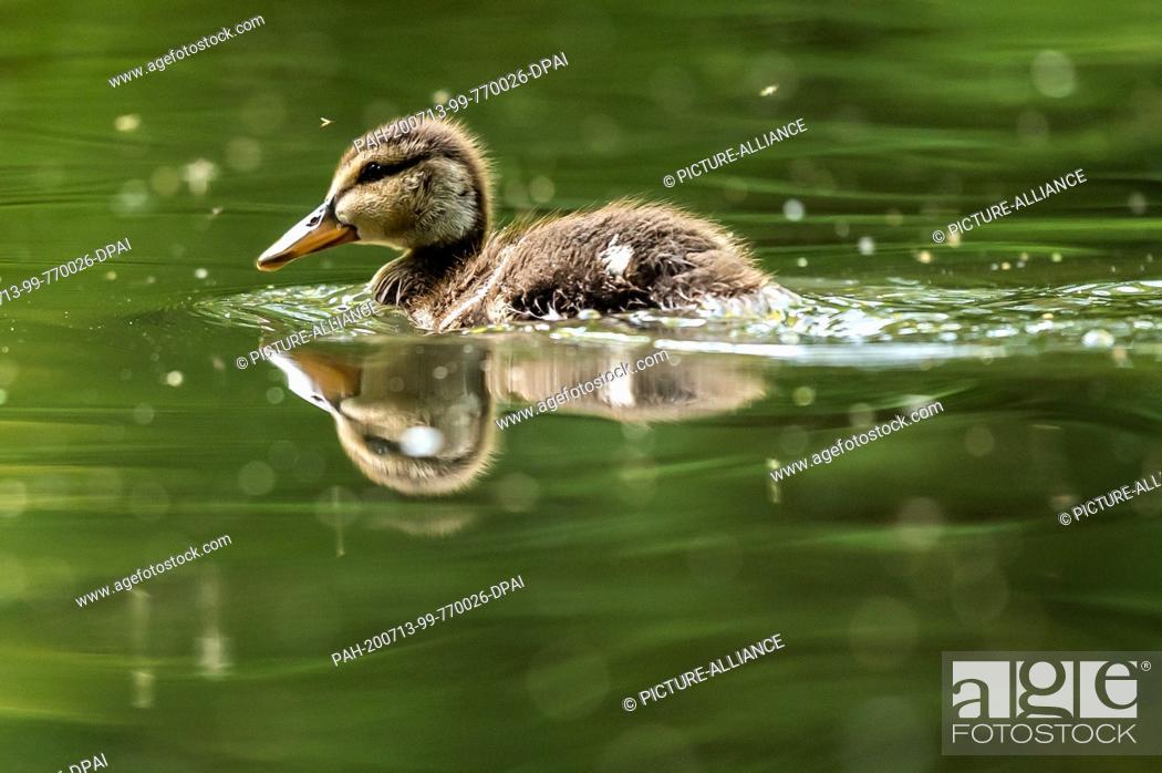 Imagen: 13 July 2020, Baden-Wuerttemberg, Donaueschingen: A duck swims in a lake in the Fürstlich Fürstenberg Park. Photo: Silas Stein/dpa.