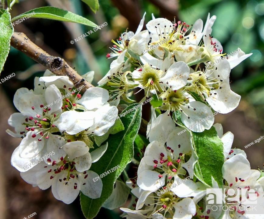 Stock Photo: branch with white blooming pear flowers, full frame.