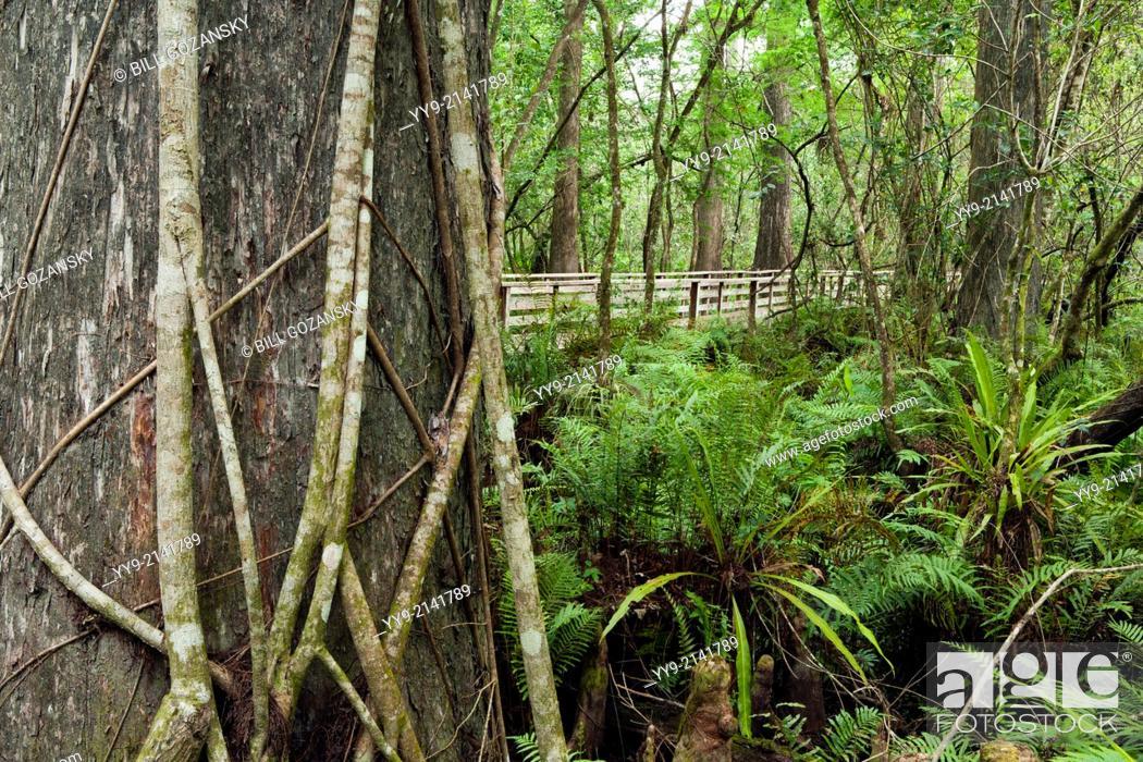 Stock Photo: Corkscrew Swamp Sanctuary (Composite Image) - near Naples, Florida USA.