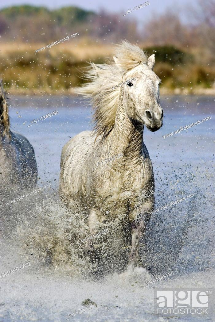 Stock Photo: CAMARGUE HORSE, GALOPPING IN SWAMP, SAINTES MARIE DE LA MER IN SOUTH OF FRANCE.