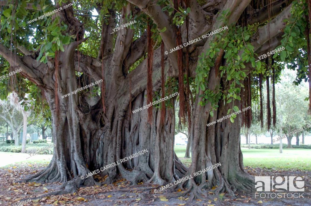 Stock Photo: Large live oak tree in St Petersburg Florida.