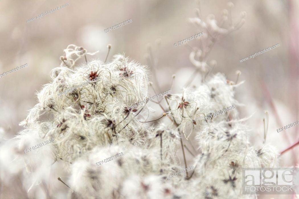 Stock Photo: natural background showing a detail of feathered seeds in blurry back.