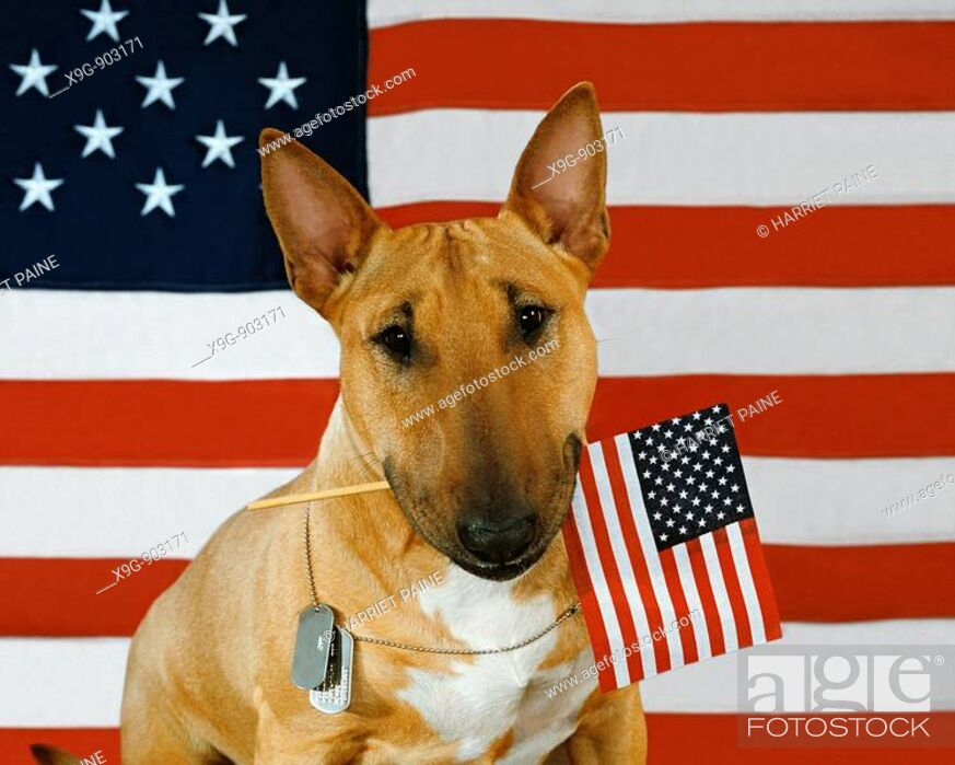 Stock Photo: English Bull Terrier.