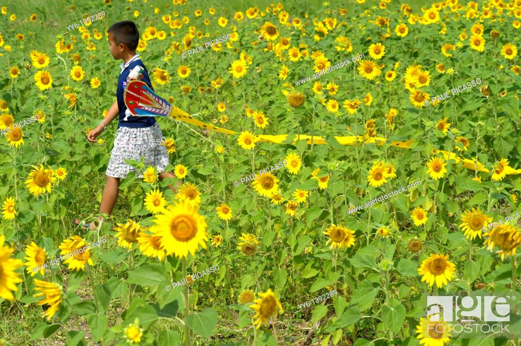 Stock Photo: young boy with his kite , sunflower fields of lopburi and saraburi, central Thailand.
