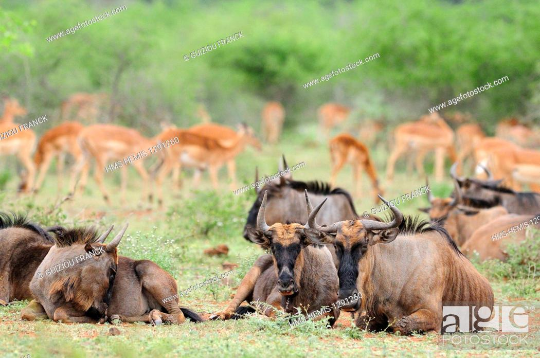 Imagen: South Africa, Mpumalanga region, the South Kruger National Park, wildebeest (Connochaetes taurinus) and impalas (Aepyceros melampus).