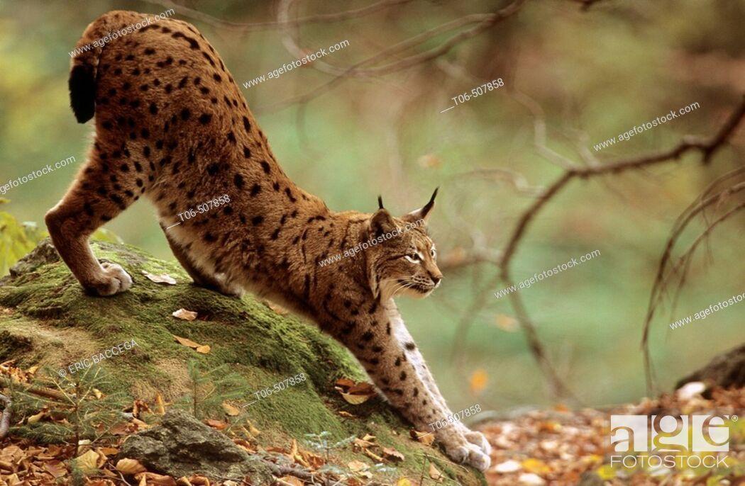 Stock Photo: Lynx stretching (Lynx lynx) captive. Bayerischer Wald Nationalpark, Germany.