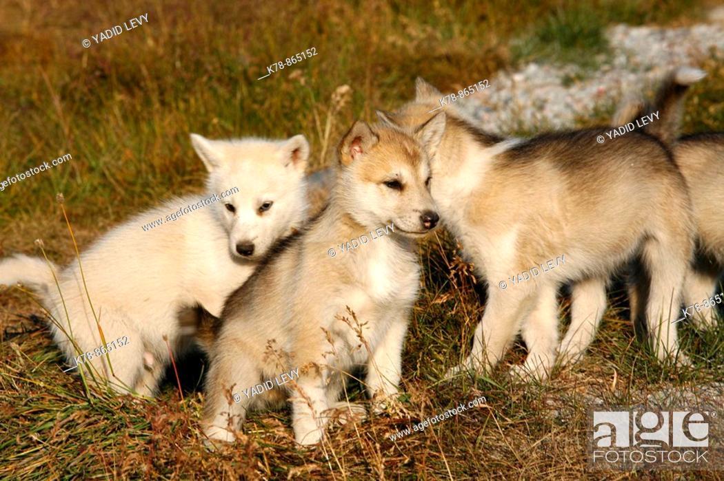 Stock Photo: Husky sled dog puppies at ilulissat, Greenalnd.