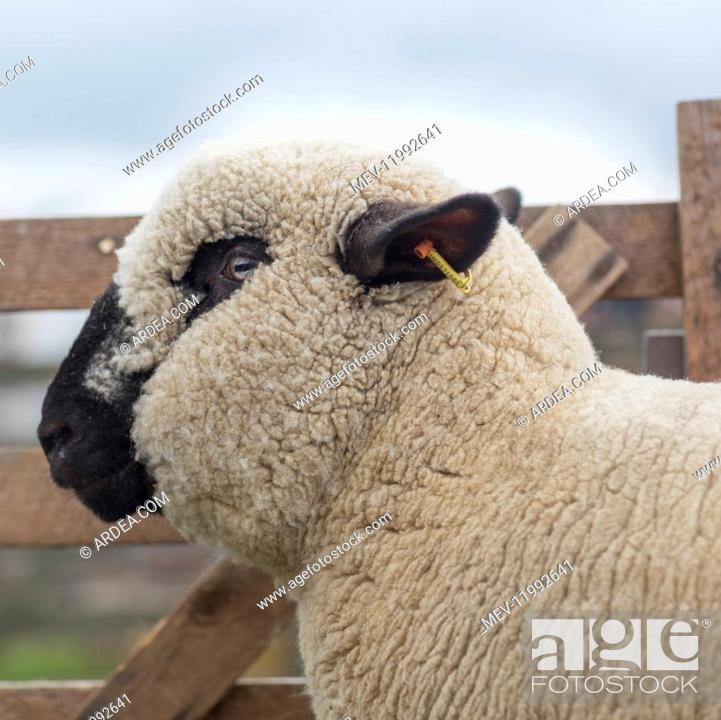 Stock Photo: Hampshire Down sheep in profile - Halifax Agricultural Show, Yorkshire.