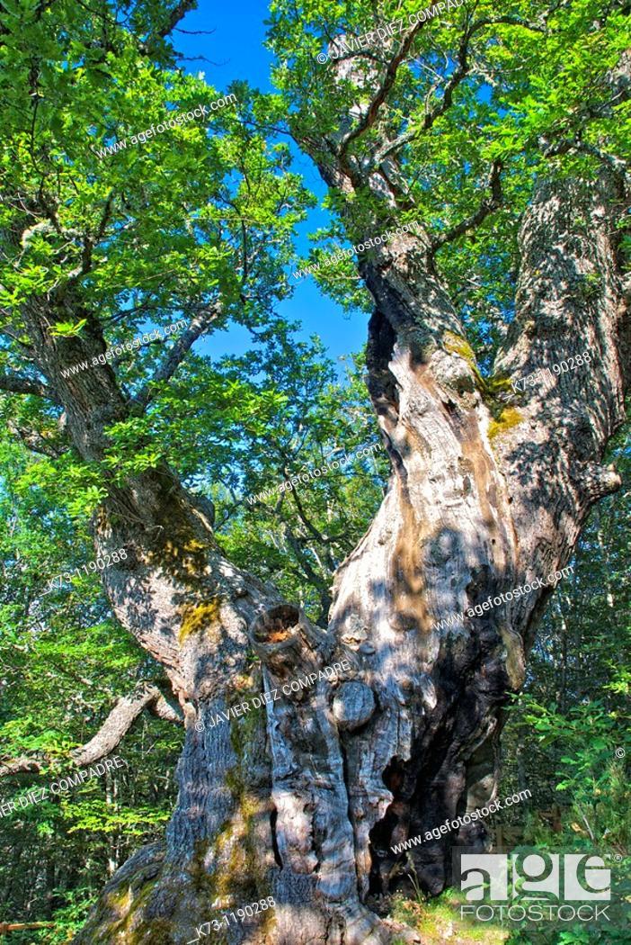 Stock Photo: Roblon de Estalaya (Quercus Petraea). Fuentes Carrionas y Fuente Cobre-Montaña Palentina Natural Park. Palencia province, Castilla y Leon, Spain.